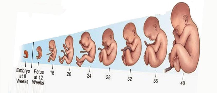By week week pregnancy Pregnancy